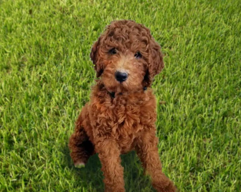 What Is An F1B Goldendoodle?