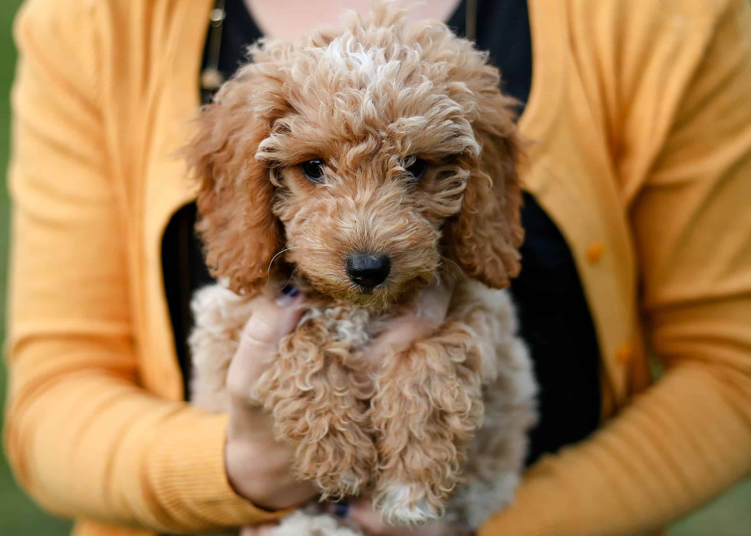English Mini Goldendoodles The Teddy Bear Breed Doodle Tips