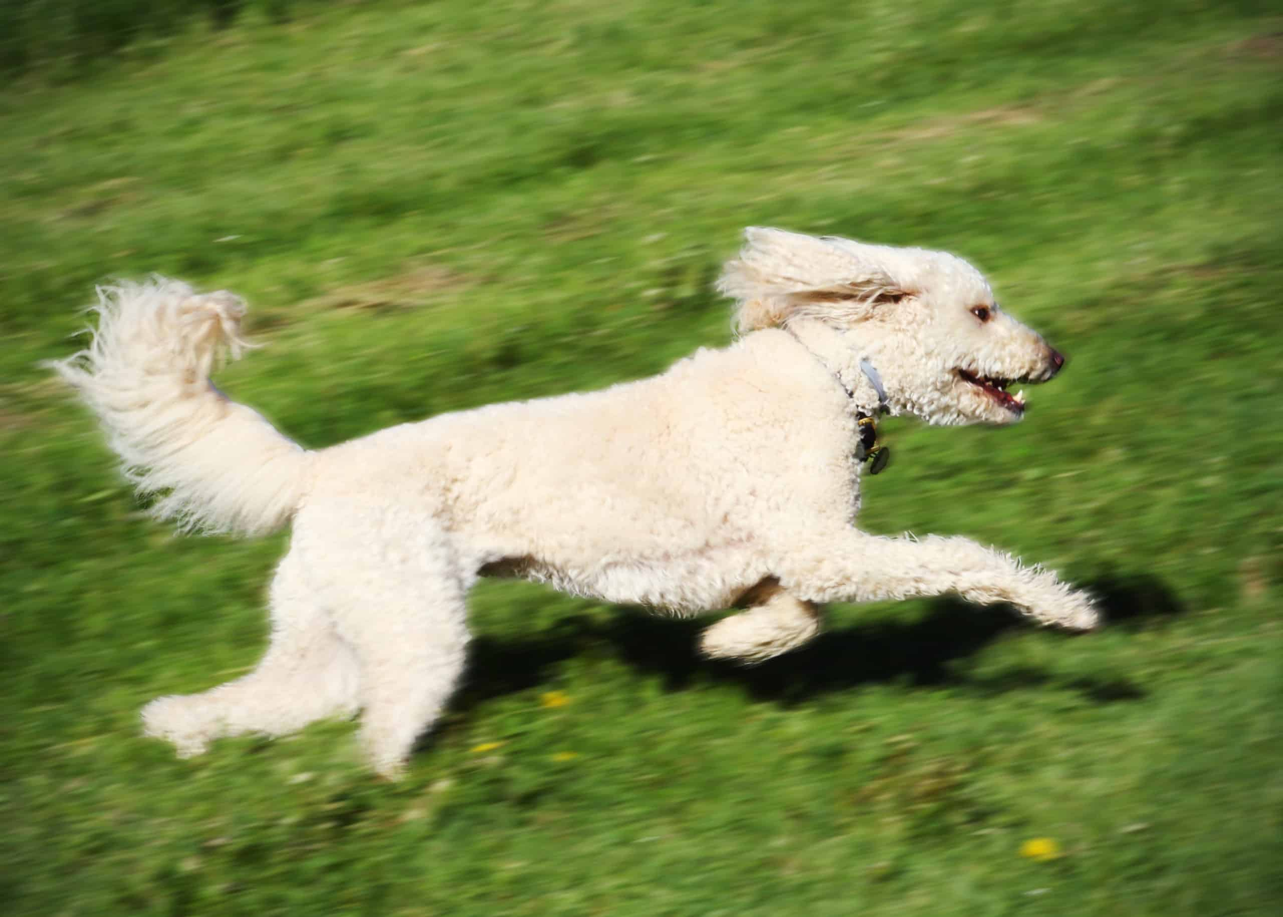 Are Labradoodles good running partners?