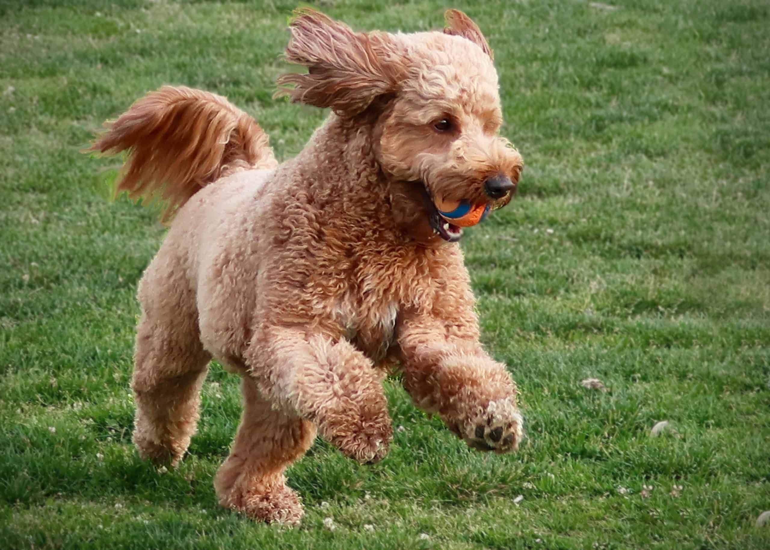 Do Goldendoodles Like To Fetch Doodle Tips
