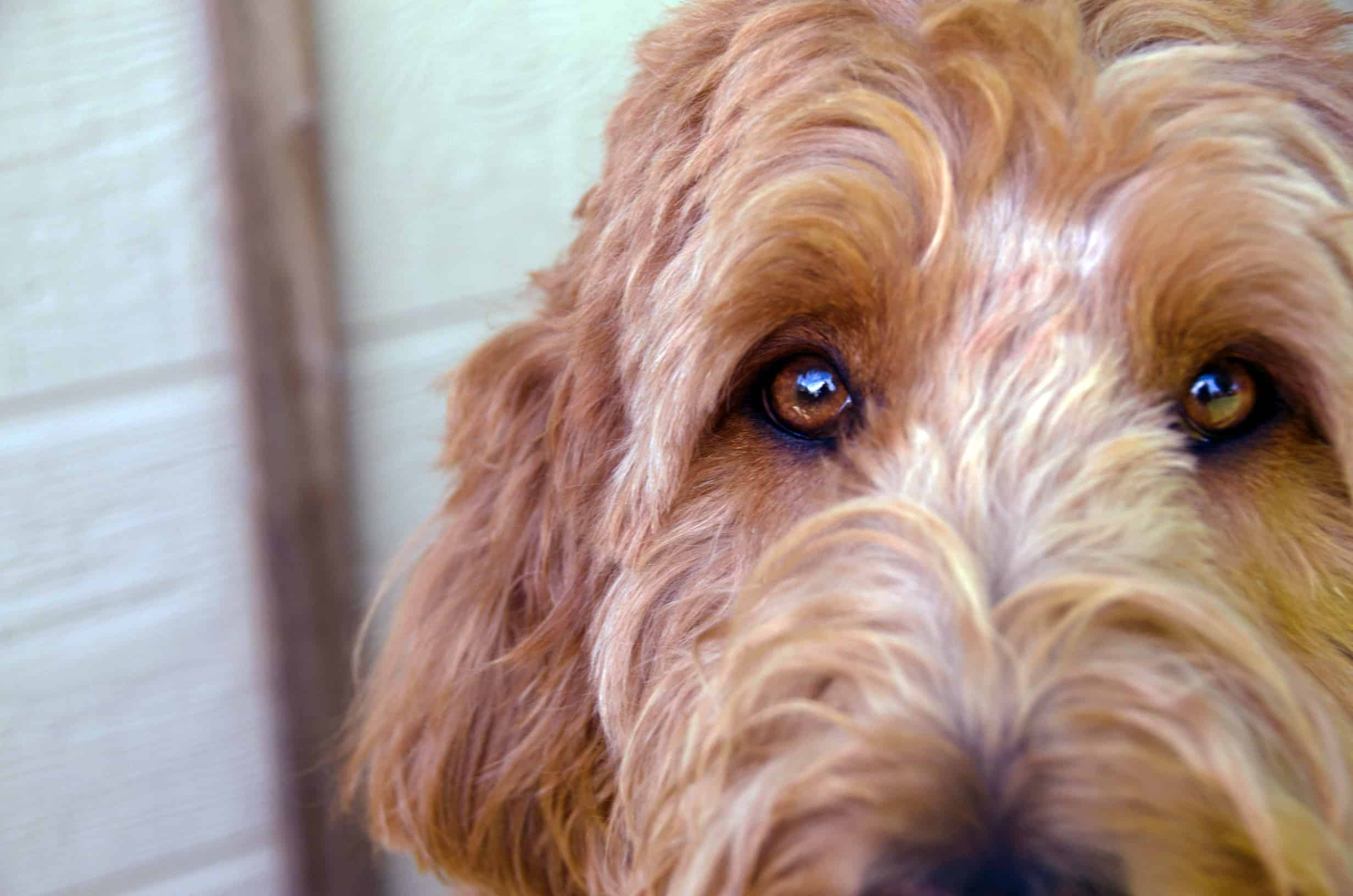 Labradoodle is scared of everything