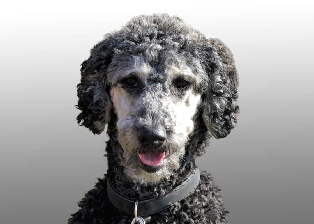 This is why your labradoodle is going grey