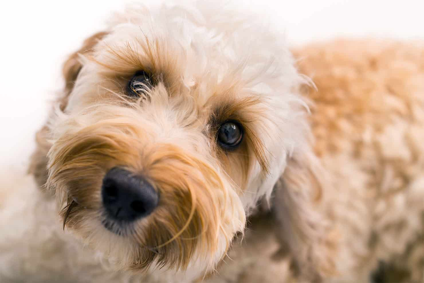 How To Choose A Labradoodle Puppy