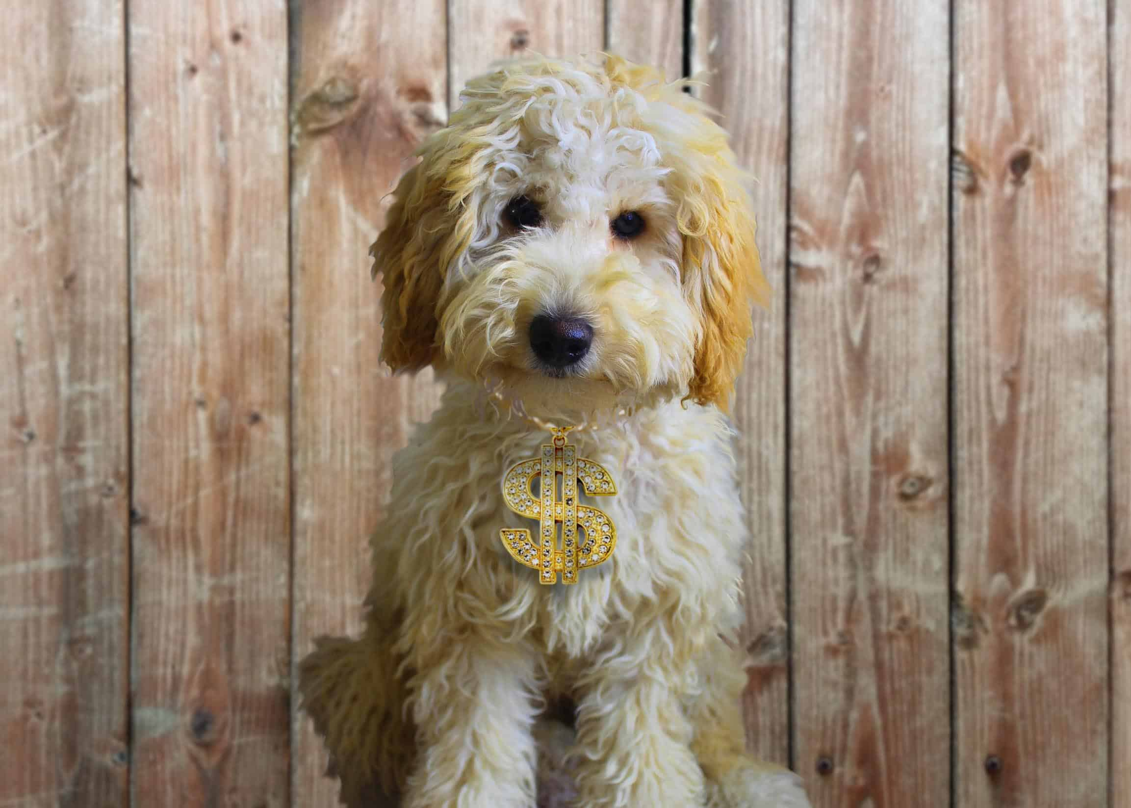 13 Reasons A Labradoodle Is So Expensive